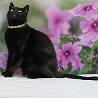 Domestic Shorthair Cat for adoption in Houston, Texas - Slinky
