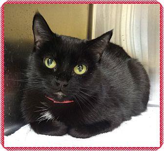 Domestic Shorthair Cat for adoption in Marietta, Georgia - BOBBI (R)