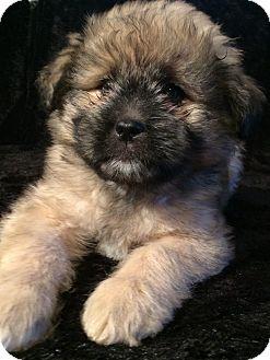 Husky/Shih Tzu Mix Puppy for adoption in Kittery, Maine - Stella