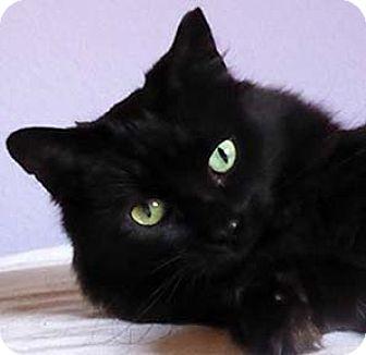 Domestic Mediumhair Cat for adoption in Tiburon, California - Moxie