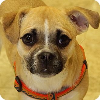 Pug/Chihuahua Mix Dog for adoption in Sprakers, New York - Abby