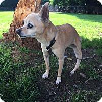 Adopt A Pet :: Snuggles - Pottstown, PA