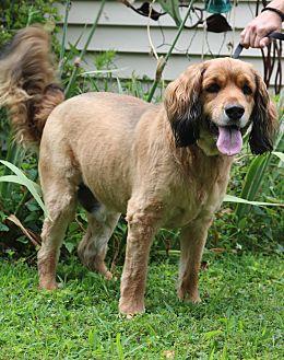 Cocker Spaniel/Golden Retriever Mix Dog for adoption in Hagerstown, Maryland - Charlie