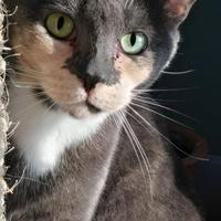 Adopt A Pet :: CLEO - THORNHILL, ON