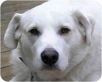Labrador Retriever/Husky Mix Dog for adoption in Overland Park, Kansas - Jack