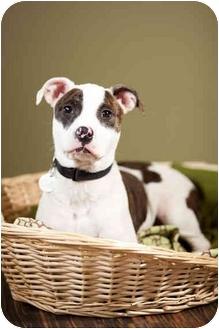 Pit Bull Terrier Puppy for adoption in Portland, Oregon - Samson