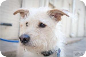 Terrier (Unknown Type, Small) Mix Dog for adoption in Houston, Texas - Brock