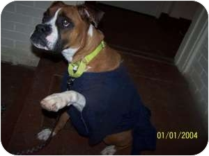 Boxer Dog for adoption in Salem, Ohio - Abby