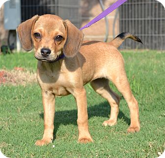 Beagle/Chihuahua Mix Puppy for adoption in Westport, Connecticut - *Daisy Duke - PENDING