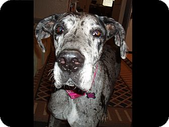 Great Dane Dog for adoption in Phoenix, Arizona - Daisy Doodle