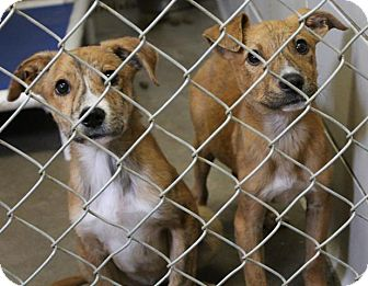 Catahoula Leopard Dog Mix Puppy for adoption in Haughton, Louisiana - BCAC Catahoula mix 1