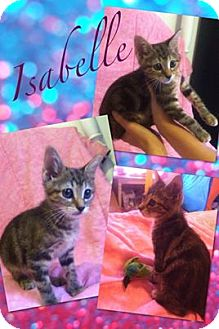 Domestic Shorthair Kitten for adoption in Longview, Texas - Isabelle