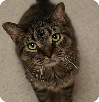 Domestic Shorthair Cat for adoption in Naperville, Illinois - Jerry