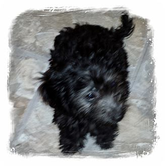 Poodle (Miniature)/Dachshund Mix Puppy for adoption in Houston, Texas - MAKITA (ADOPTION PENDING)