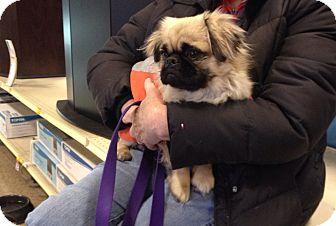 Pekingese Mix Dog for adoption in Trenton, New Jersey - Mugzy