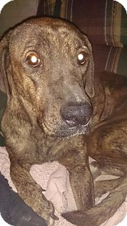 Great Dane Mix Dog for adoption in Baden, Pennsylvania - Dolce