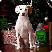 Adopt A Pet :: Ollie - Owensboro, KY