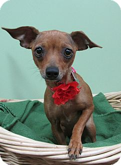 Chihuahua Mix Dog for adoption in Benbrook, Texas - Chica