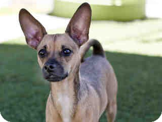 Chihuahua/Terrier (Unknown Type, Small) Mix Puppy for adoption in Agoura, California - Bleu