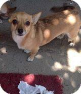Chihuahua/Corgi Mix Dog for adoption in Los Angeles, California - Foxy