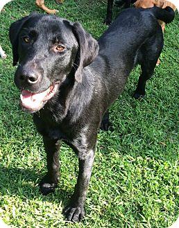 Labrador Retriever Mix Puppy for adoption in North Brunswick, New Jersey - Jasper