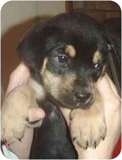 Bloodhound/Mastiff Mix Puppy for adoption in Minerva, Ohio - LeBron
