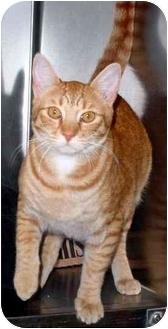 Domestic Shorthair Cat for adoption in Tracy, California - Benji