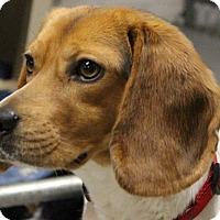 Adopt A Pet :: Molly - Grafton, MA