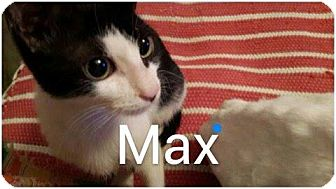 Egyptian Mau Kitten for adoption in Turnersville, New Jersey - Max and Keme (Blacky)