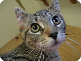 Domestic Shorthair Cat for adoption in Milwaukee, Wisconsin - Umbee