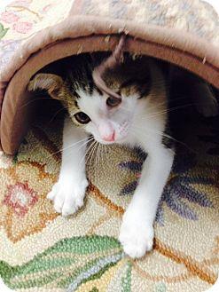Domestic Shorthair Kitten for adoption in Trevose, Pennsylvania - Linus