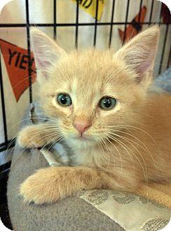 Domestic Shorthair Kitten for adoption in Bonner Springs, Kansas - Lucky Charm