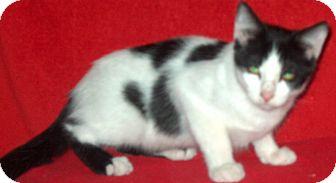 Domestic Shorthair Kitten for adoption in Palatine, Illinois - Woody