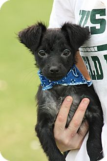 Chihuahua Mix Dog for adoption in Glastonbury, Connecticut - Geno
