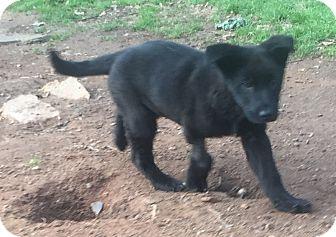Labrador Retriever Mix Puppy for adoption in North Brunswick, New Jersey - Bear