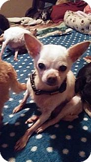 Chihuahua Mix Dog for adoption in Brooksville, Florida - Bobber