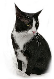 Domestic Shorthair Cat for adoption in Wayne, New Jersey - Monster