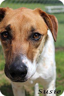 Pointer/Greyhound Mix Dog for adoption in Texarkana, Arkansas - Susie
