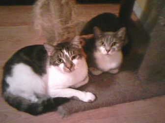 Domestic Shorthair Cat for adoption in Satellite Beach, Florida - Antoinette & Bernadette