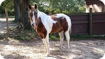 Gaited Mix for adoption in Cantonment, Florida - Thunder