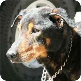 German Shepherd Dog Mix Dog for adoption in Berkeley, California - Marcus