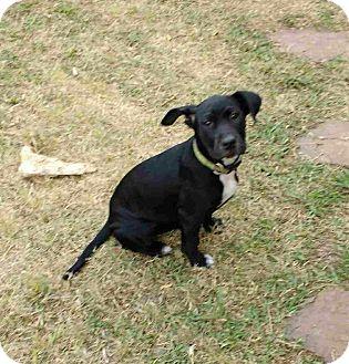 Labrador Retriever/Staffordshire Bull Terrier Mix Puppy for adoption in Flower Mound, Texas - Inka