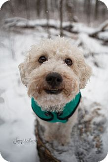 Yorkie, Yorkshire Terrier/Poodle (Miniature) Mix Dog for adoption in Drumbo, Ontario - Buttons