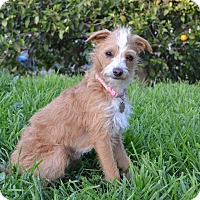 Adopt A Pet :: Tinkerbell - Simi Valley, CA