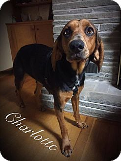Black and Tan Coonhound Mix Dog for adoption in Painted Post, New York - Charlotte