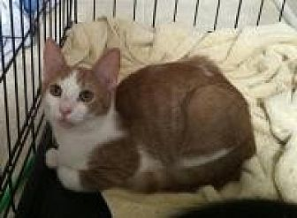 Domestic Shorthair Cat for adoption in Medford, New Jersey - Liz