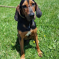 Adopt A Pet :: Elvis - Hawk Point, MO