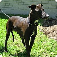 Adopt A Pet :: Marge - Dallas, TX