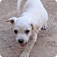 Adopt A Pet :: 2 white lab mix puppies - San Tan Valley, AZ