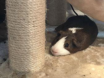 Guinea Pig for adoption in Chesapeake, Virginia - Albert